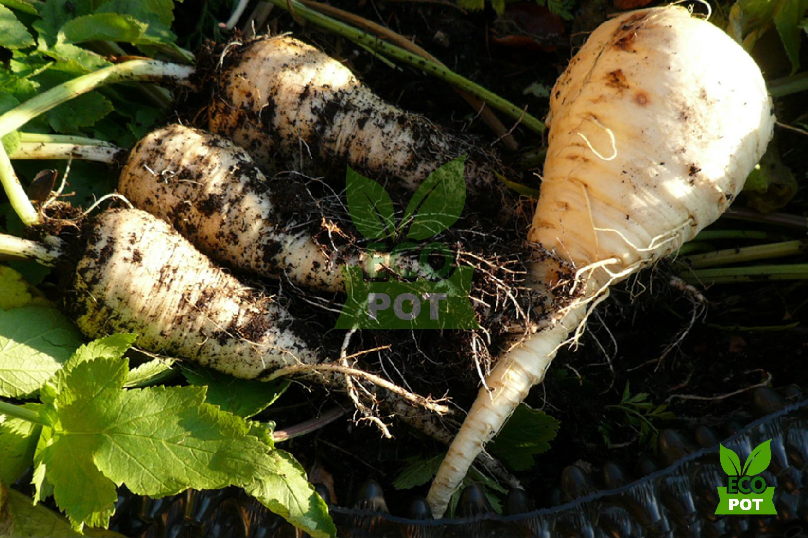 Tầm quan trọng của bộ rễ khỏe mạnh