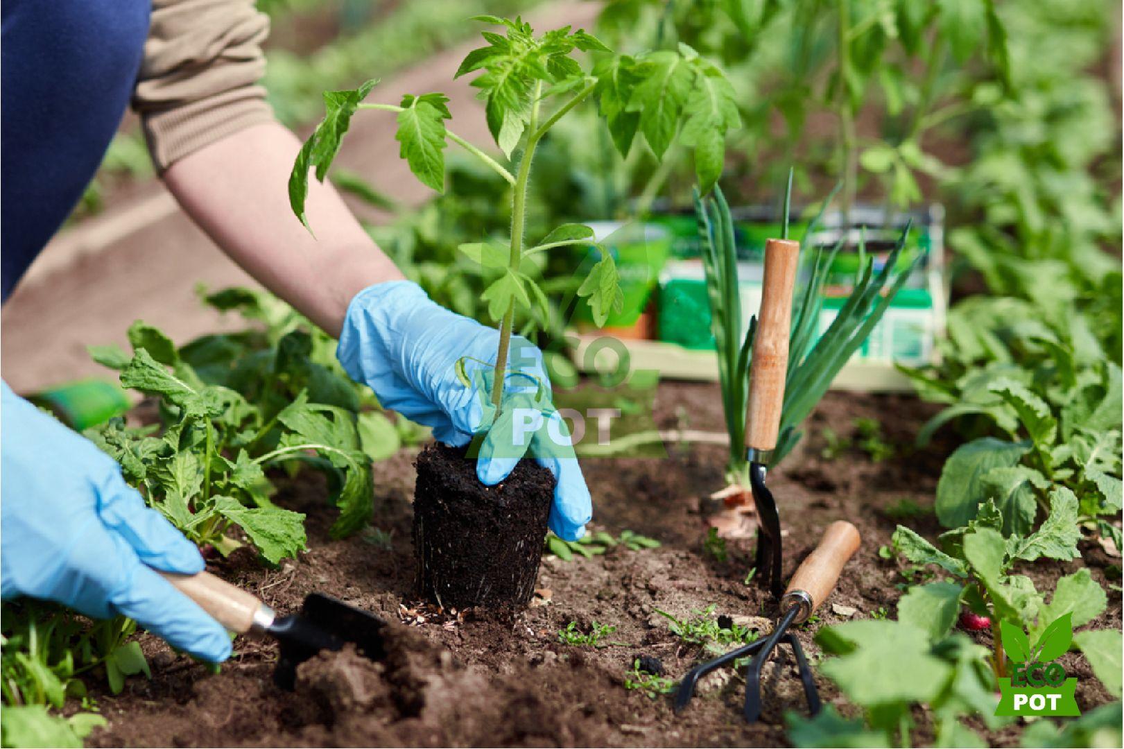 Bộ rễ khỏe mạnh giúp cây phát triển vượt trội