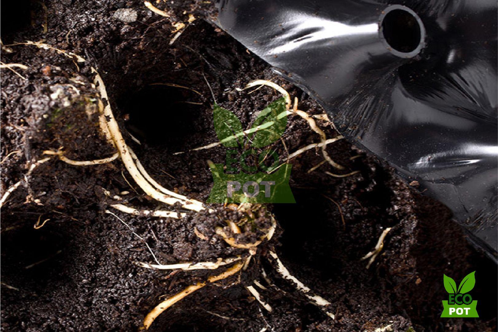 Rễ cây phát triển tốt và khỏe mạnh trong bầu ươm cây Ecopot