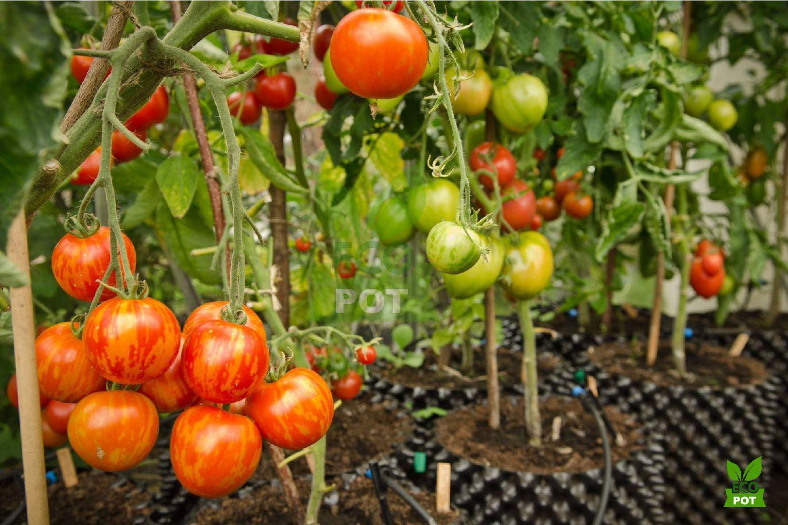Cà chua được trồng trong bầu ươm Ecopot