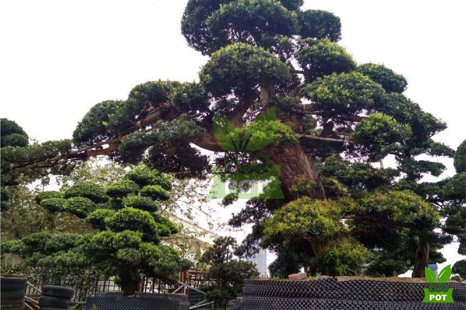 Bonsai và Tùng Nhật được trồng trong bầu ươm Ecopot