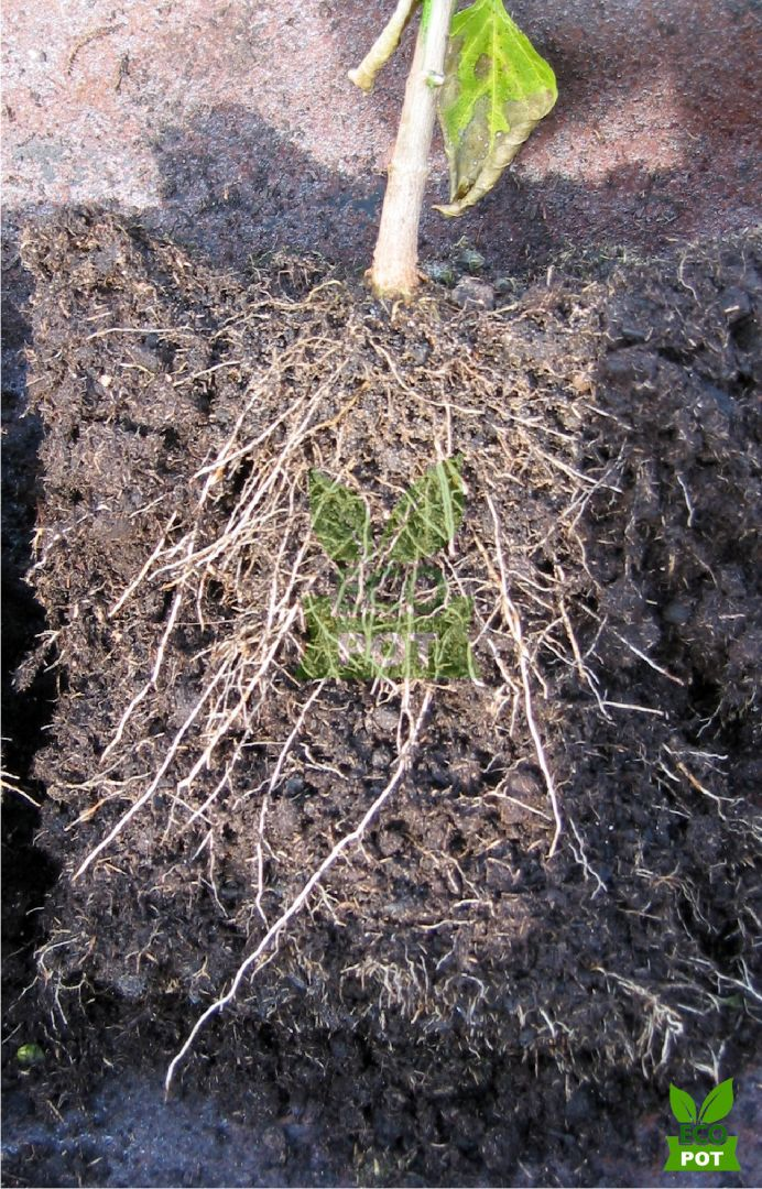 6 Lý do nên trồng mai trong bầu ươm Ecopot