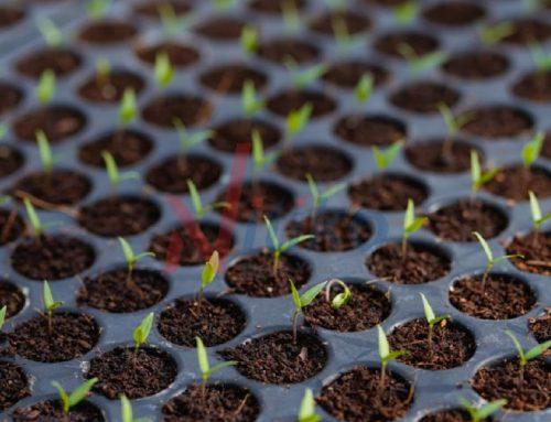 Cách ươm hạt giống đạt năng suất cao